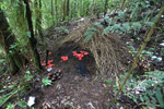 Vogelkop Bowerbird bower with red fruit and other items to attract females [west-papua_0754]