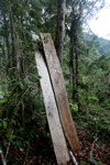Boards freshly cut from a rainforest tree in New Guinea