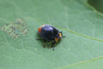 Black beetle with a yellow head and red-orange rear parts