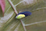 Black and neon green leafhopper [west-papua_1065]