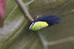 Black and neon green leafhopper [west-papua_1068]