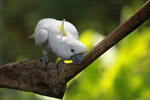 Sulphur-crested Cockatoo (Cacatua galerita) [west-papua_5093]
