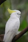 Sulphur-crested Cockatoo (Cacatua galerita) [west-papua_5094]