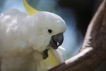 Sulphur-crested Cockatoo (Cacatua galerita) [west-papua_5095]