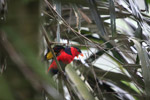 Tricolored Lory (Lorius lory) [west-papua_5100]