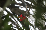 Black-capped Lory (Lorius lory) [west-papua_5101]