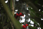 Black-capped Lory (Lorius lory) [west-papua_5109]