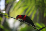 Tricolored Lory (Lorius lory) [west-papua_5126]