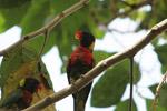 Parrot [west-papua_5130]