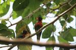 Parrot [west-papua_5136]
