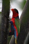 Black-capped Lory (Lorius lory) [west-papua_5144]