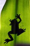 Frog shadow seen through a sunlit leaf [west-papua_5193]