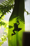 Frog shadow seen through a sunlit leaf [west-papua_5195]