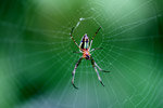 Orange, yellow, green, and black orb spider [west-papua_5327]