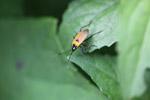 Orange and black bug [west-papua_5341]