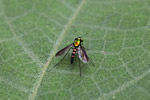 Multicolored (red, green, yellow, orange, violet) fly [west-papua_5357]