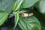 Orange, turquoise, black, and white insects mating [west-papua_5418]
