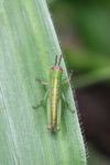 Green grasshopper [west-papua_5427]