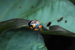 Black, orange, and turquoise stink bug [west-papua_5446]