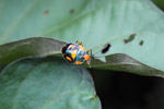Black, orange, and turquoise shield bug