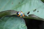 Black, orange, and turquoise shield bug
