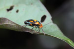 Black, orange, and turquoise stink bug [west-papua_5452]