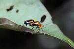 Black, orange, and turquoise stink bug [west-papua_5452]