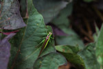 Green and brown katydid