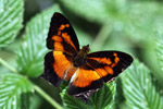 Black and deep orange butterfly [west-papua_5464]