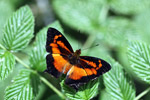 Black and deep orange butterfly