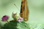 Butterfly feeding on a flower [west-papua_5471]