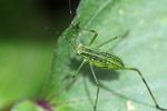 Green katydid with black stripes