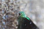 Neon green butterfly