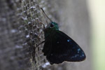 Neon green skipper butterfly [west-papua_5533]