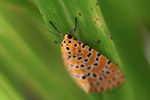 Orange moth with black and yellow polkadots [west-papua_5573]