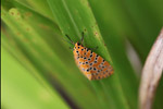 Orange moth with black and yellow polkadots [west-papua_5574]
