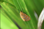 Orange moth with black and yellow polkadots [west-papua_5575]