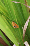 Orange moth with black and yellow polkadots [west-papua_5578]