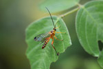 Yellow wasp [west-papua_5595]