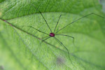 Red daddylonglegs with black legs [west-papua_5612]