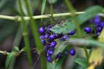 Blue-purple berries