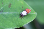 White and reddish-orange moth