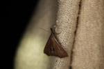 Leaf-like moth [west-papua_5739]