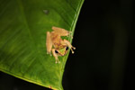 Tree frog in New Guinea (Litoria torrent-breeding hylid) [west-papua_5746]