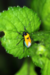 Orange, turquoise, and black bug [west-papua_5771]
