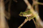Spotted tree frog in New Guinea (Litoria species) [west-papua_5777]