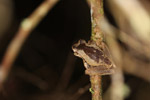 Spotted tree frog in New Guinea (Litoria species) [west-papua_5778]