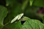 Green katydid [west-papua_5779]