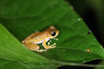 Litoria tree frog in New Guinea