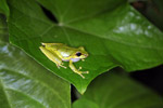Litoria tree frog in New Guinea [west-papua_5795]